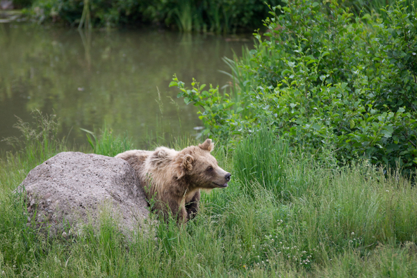 Young Brown Bear scratching on
