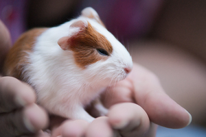 Baby Guinea Pig: Baby Guinea Pig sitting in Hands