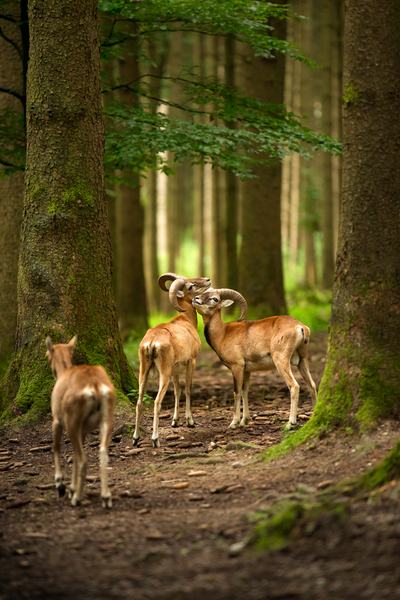 Mouflons in Forest