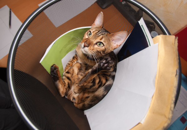 Bengal Cat playing in Recycle : Funny Snapshot of a Bengal Cat playing in Recycle Bin