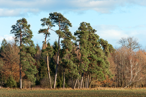 Forest Pines: Scots Pines Pinus sylvestris on Woods Edge