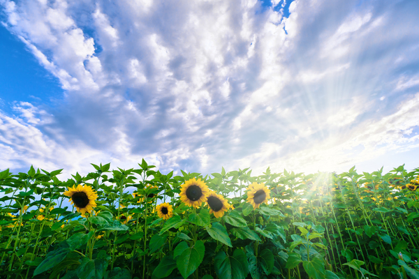 Sunflower Field: Sunflower Field with setting Sun in Background, nice Sunburst and Sunbeams