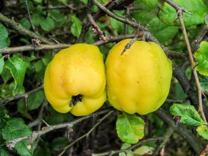 quince - chaenomeles 2