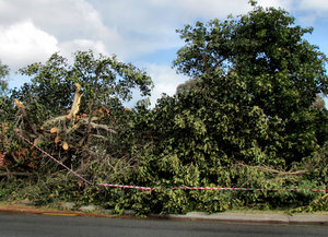 storm damage4: damage caused by large tree blown over during storm