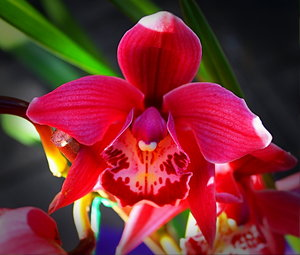 Red Orchid: A beautiful red cymbidium orchid.