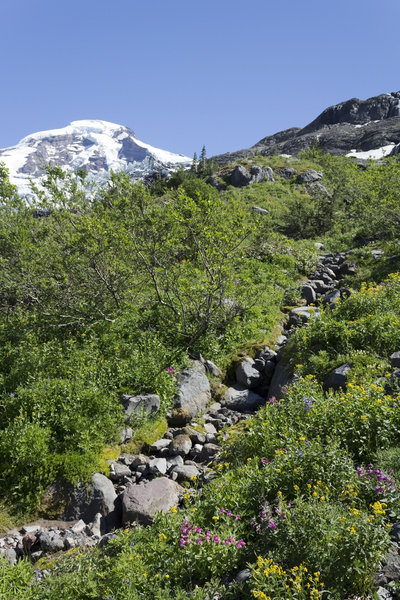 Mountain flowers: Wild flowers (lupine, mimulus and others) growing on a scree slope high on Mt Baker, USA.