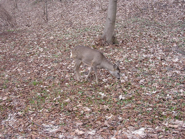Roe: A small deer living in the Łazienki Park in Warsaw.