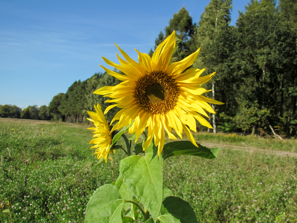 sunflower in summer landscape