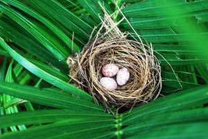 Bird Nest - Bulbul Egg: The Bulbul bird's nest with three of its eggs ready for hatching. The Bulbul created its nest in the long palm trees growing at the side of our swimming pool at Benaulim Goa. Bulbul eggs with maroon colour spots.