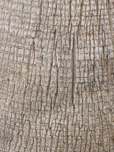 palm trunk texture1: grey rough texture of palm tree trunk