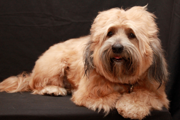 Tibetan Terrier Dog 5: My Tibetan Terrier on his 4th birthday!