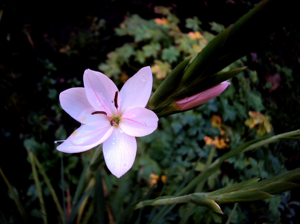 Pale Pink Lily