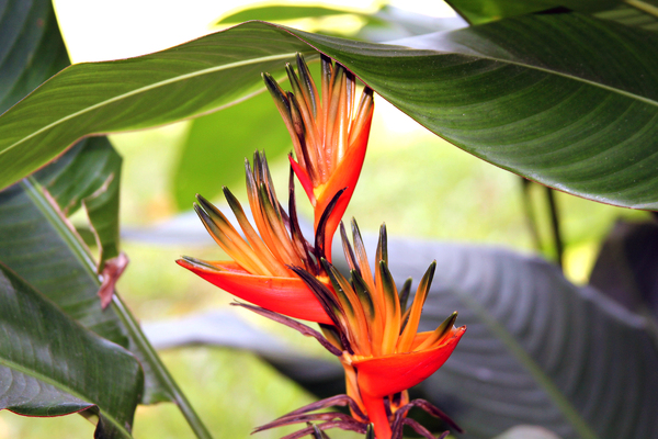 Tropical Flower: species Heliconia