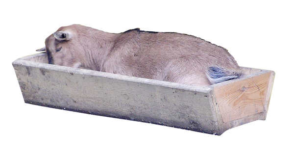 A goat in the drinking trough