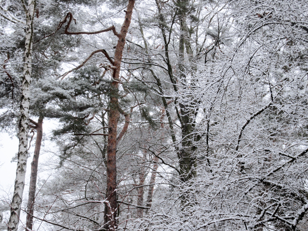 winter trees: winter trees - snow covered winter tree scenery