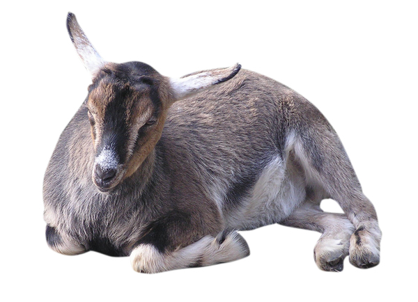 Goat: A goat isolated.