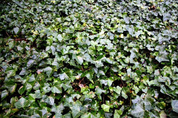 Ivy Carpet: Carpet of ivy for use as a background texture