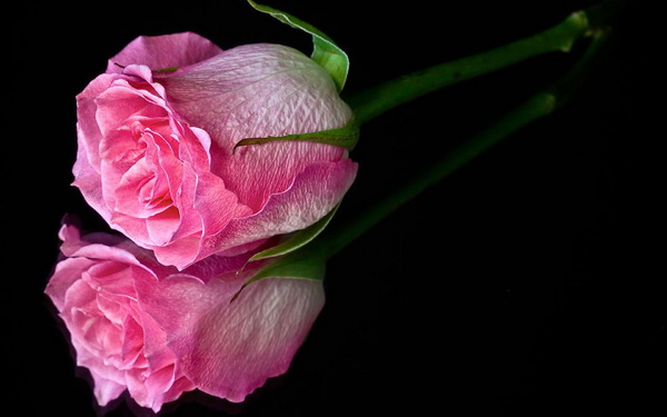 my love: pink rose reflection
