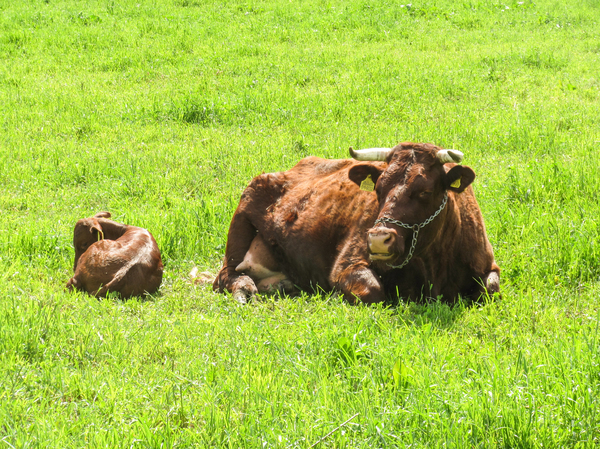 red cattle: red cattle
