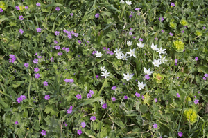 Spring flowers: Wild spring flowers in southern Italy.