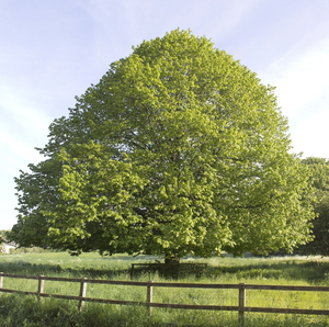 Lime (linden) tree