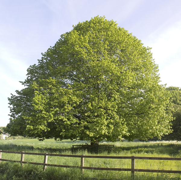 Lime (linden) tree: A lime (linden, Tilia) tree in spring in Hampshire, England. Two image photomerge.