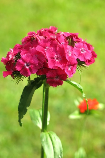 Dianthus barbatus: none
