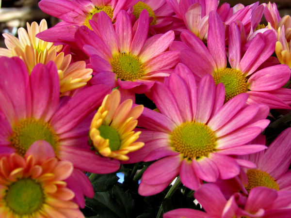 colourful chrysanthemums7: Mother's Day flower pot of varied coloured chrysanthemums