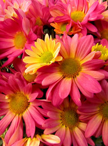 colourful chrysanthemums3b: Mother's Day flower pot of varied coloured chrysanthemums