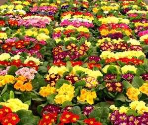 Primose carpet: Plants of primose (sp. Primula) ready to sell