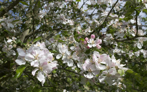 Apple blossom: Apple (Malus) blossom in a garden in Hampshire, England.