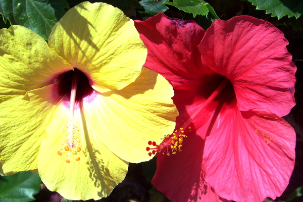 Red and Yellow Hibiscus 2