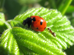 Ladybug: Ladybug on leaf with ant