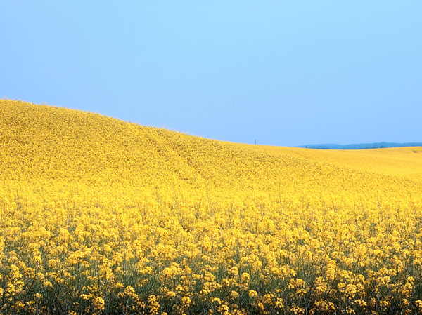 field of the canola