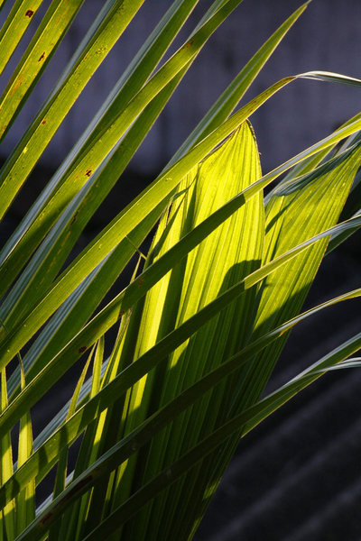 Coconut Leaf: Sun light Image