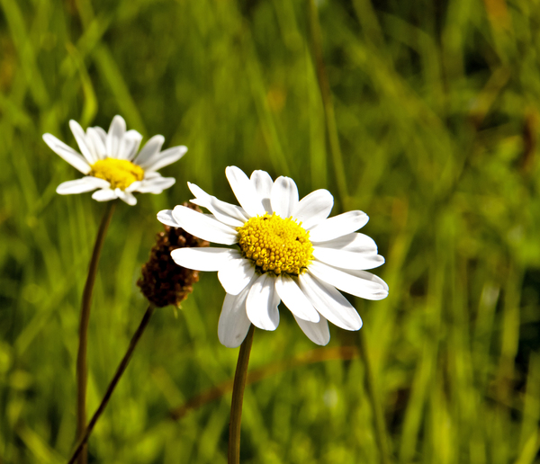 White Daisies: White daisies against a grassy background.
