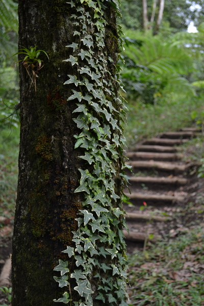 Climbing plant: A typical view of a forest in Santa Cruz, Alta Verapaz, Guatemala.