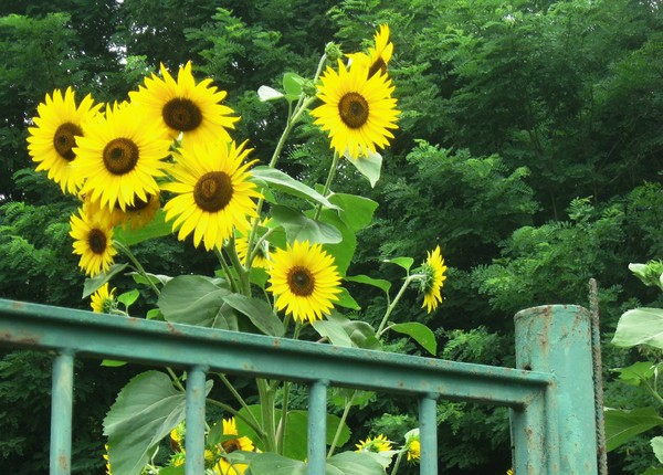 sunflowers above a gate