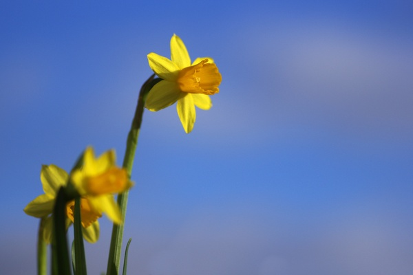 Easter daffodils and sky