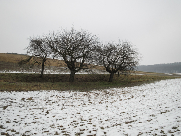 apple trees in winter: apple trees in winter