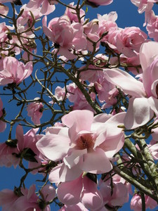 magnolia: no description