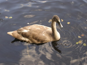 Young swans: The Ugly Ducklings