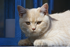 Oscar the Cat: Picture of a British Shorthair kitten