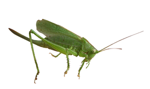 Grasshopper: A small insect.