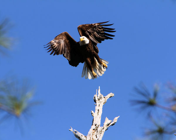 Eagle in Flight: Eagle taking off from top of an old tree close to it's nest.