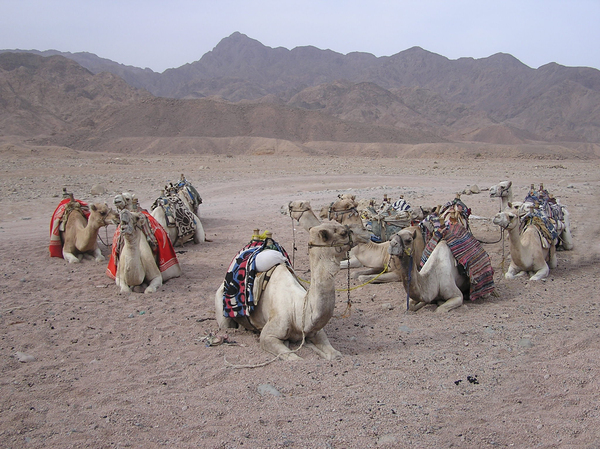 Bunch of camels