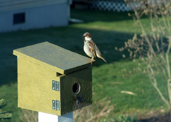 Springtime Sparrow: Sparrow in a new birdhouse spring of 2013. Birdhouse is located in a flowerbed. Bird watching is a fun hobby for children and adults.