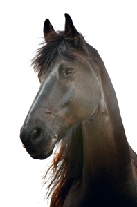 A dark brown horse