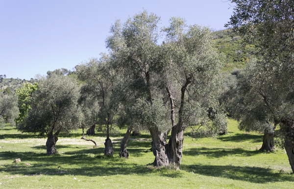 Ancient olive trees: Ancient olive trees in Puglia, Italy.