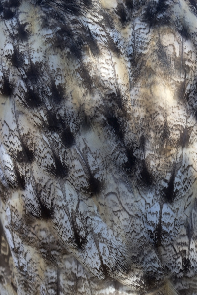 Eagle owl feathers: Plumage of an eagle owl (Bubo bubo).